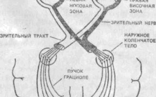 Предпосылки возникновения асимметрии зрения, обусловленные строением проводящих путей и подкорковых образований