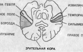 Доминантность зрительной коры правого полушария