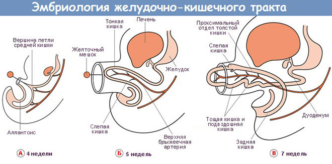 Эмбриология желудочно-кишечного тракта